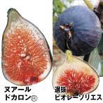 果樹苗 イチジク 極甘イチジクセット 2種2株 / 果物苗 フルーツ苗