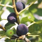 果樹苗 イチジク ビオレドノルマンド 1株 / 果物苗 フルーツ苗