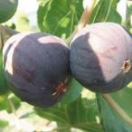 果樹苗 イチジク グレースドタラスコン 1株 / 果物苗 フルーツ苗