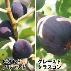 果樹苗 イチジク 耐寒性イチジクセット 2種2株 / 果物苗 フルーツ苗