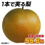 果樹苗 ナシ なるみP 1株 / 果物苗 フルーツ苗 梨 なし