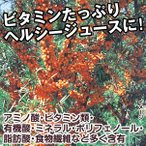 果樹苗 サジー(シーベリー) オレンジエナジーR 1株 / 果物苗 フルーツ苗
