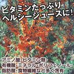 果樹苗 サジー(シーベリー) オレンジエナジーR 3株 / 果物苗 フルーツ苗