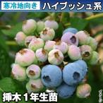 果樹苗 ハイブッシュ系ブルーベリー ブルークロップ 挿木1年生 1株 / 果物苗 フルーツ苗