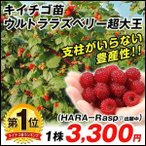 果樹苗 キイチゴ ウルトララズベリー 超大王 1株 / 果樹 フルーツ 果物 苗 苗木