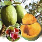 果樹苗 フェイジョア クーリッジ 1株 / 果物 フルーツ苗