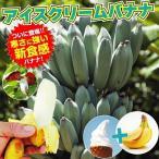 果樹苗 耐寒性バナナ アイスクリーム ウイルスフリー苗 3株 / 果物 フルーツ苗
