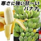 果樹苗 バナナ ナムワーバナナ 1株 / 果物 フルーツ苗