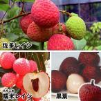 果樹苗 ライチ 美味ライチセット 3種3株 / 果物 フルーツ苗