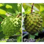 果樹苗 アテモヤセット 2種2株 / 果物 フルーツ苗