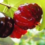果樹苗 ピタンガ フロリダブラック 1株 / 果物 フルーツ苗