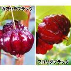 果樹苗 ピタンガセット 2種2株 / 果物 フルーツ苗