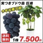 果樹苗 ブドウ 巨峰実つき 1株 / 果物苗 フルーツ苗 葡萄 ぶどう
