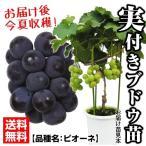 果樹苗 ブドウ ピオーネ実つき 1株 / 果物苗 フルーツ苗 葡萄 ぶどう