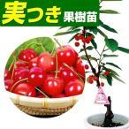 果樹苗 サクランボ 高砂 実つき 1株 / 果物苗 フルーツ苗 桜桃 さくらんぼ