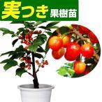 果樹苗 サクランボ 暖地桜桃 実つき 1株 / 果物苗 フルーツ苗 桜桃 さくらんぼ