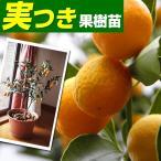果樹苗 カンキツ キンカン ぷちまるP 実つき 1株 / 金柑 きんかん 果樹 フルーツ 果物 苗 苗木