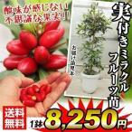 果樹苗 ミラクルフルーツ 実つき 1株 / 果物苗 フルーツ苗
