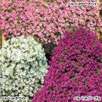 花苗 巨大ペチュニアセット 3種6株 / 花の苗 はな苗 花壇