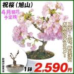 花木 祝桜 旭山   1鉢 / さくら サクラ 苗 盆栽