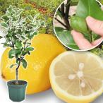 果樹苗 レモン 実つきリスボンレモン  1株 / 果物苗 フルーツ苗