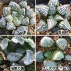 多肉植物 ハオルチアCセット 4種4株 (各1株)