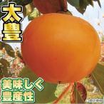 果樹苗 在庫処分 セール カキ 太豊P プレミアム苗 1株 / 果物苗 フルーツ苗