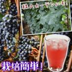 果樹苗 在庫処分 セール 通常価格の半額 山ブドウ ヤマソーヴィニヨン 3株 / 果物苗 フルーツ苗 葡萄 ぶどう