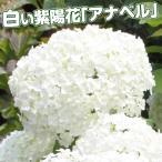 花木 アメリカアジサイ アナベル 1株