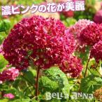 花木 アメリカアジサイ ピンクアナベル ベラアナ(R)PVP 1株