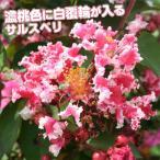 花木 サルスベリ 夏祭り 1株 /庭木 苗木 苗 植木 百日紅 さるすべり