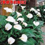 【早期割引】 春植え球根 湿地性カラー エチオピカ 1球