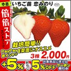いちご苗 恋みのりP 3株 / 苺 イチゴ