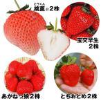 Yahoo!花と緑 国華園送料無料 イチゴ苗 お試しイチゴセット 4種8株 / いちご 苺 苗