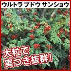 有用植物苗 サンショウ ウルトラブドウサンショウ 1株 / 山椒 さんしょう 苗木 国華園