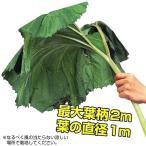 山菜 秋田フキ 2株 / 国華園