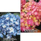 ショッピング花 花木 最新アジサイセット 2種2株 / 苗木 苗