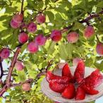 スモモ 苗木 いくみP 1株 / すもも 李 苗 苗木 すももの木 プラム プラム苗木 プラムの木 果樹苗 国華園