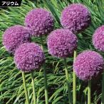 秋植え球根 アリウム ギガンチューム(大輪) 3片