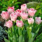 チューリップ 球根 アンジェリケ 20球 / きゅうこん 花の球根 チュウリップ ちゅうりっぷ