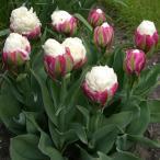 チューリップ 球根 アイスクリーム外 10球 / チュウリップ 花の球根 国華園