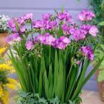 [ネット限定] 秋植え球根 フリージア シングル咲 紫花 5球