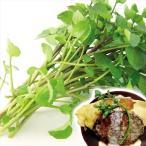 野菜たね 種 ハーブ クレソン 1袋(0.3ml) / 野菜の種 国華園