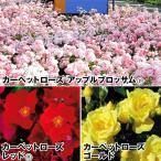バラ苗  フラワーカーペットRローズセット 3種3株/ バラ ばら 薔薇 ローズ 苗 苗木 四季咲き 国華園