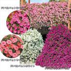 送料無料 花苗 ペチュニア 巨大ペチュニアセット 5種10株 / はななえ 花の苗
