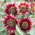 花と緑 国華園で買える「花たね ひまわり ファイヤーバード 1袋(1000mg) / タネ 種 ヒマワリ 向日葵」の画像です。価格は75円になります。