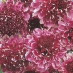 花たね スカビオサ 濃赤 1袋(50粒) / タネ 種