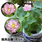 水生植物 茶碗ハス桃花 1ポット