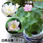 水生植物 茶碗ハス白花 1ポット