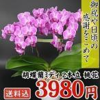 胡蝶蘭 2本立コチョウランミディ 桃色系 1鉢 送料込